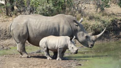 Photo of Scientists create white rhino embryos in bid to save species
