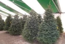 Photo of Croatia exports €1,000 worth of Christmas trees, imports €215,000
