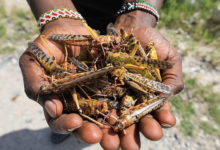 Photo of Locust infestation poses threat to food security in East Africa