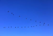 Photo of Birds in V-formation
