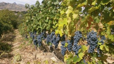 Photo of Zaev: We're seeking solutions for struggling winegrowing sector