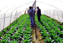 Photo of Deal reached on cabbage price; no less than Mden 15 per kilo