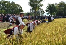 Photo of Kochani Rice Days to be shortened from several days to one
