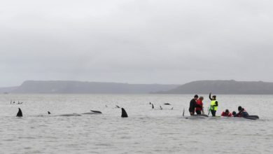 Photo of Australian rescuers make last-ditch attempts to save stranded whales