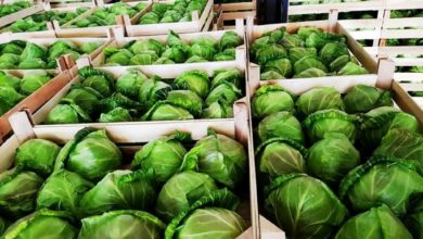 Photo of Strumica's cabbage growers struggling to keep up with growing demand